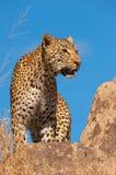 Leopardo que se coloca en la roca en sabana Foto de archivo