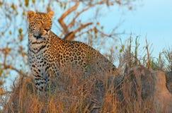 Leopardo que se coloca en sabana Foto de archivo libre de regalías