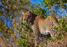 Leopardo que se coloca en sabana Imagenes de archivo