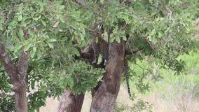 Leopardo que se levanta de una rama de árbol en la sabana almacen de metraje de vídeo