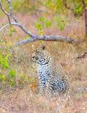 Leopardo que se reclina en sabana Imagenes de archivo
