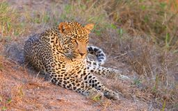 Leopardo que se reclina en sabana Imágenes de archivo libres de regalías