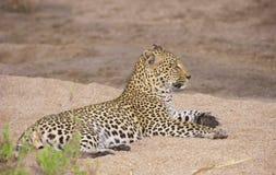 Leopardo que se reclina sobre la arena Imágenes de archivo libres de regalías