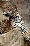 Leopardo que se relaja. Foto de archivo libre de regalías