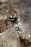 Leopardo que se relaja. Fotos de archivo libres de regalías