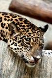 Leopardo que se relaja. Imagenes de archivo