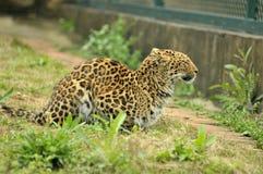 Leopardo que se sienta Imagen de archivo