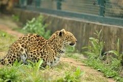Leopardo que se sienta Fotografía de archivo