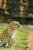 Leopardo que se sienta Foto de archivo