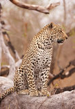 Leopardo que se sienta en el árbol foto de archivo