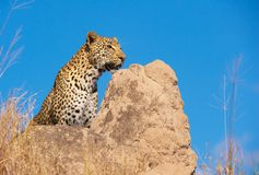 Leopardo que se sienta en la roca en el salvaje Imagen de archivo