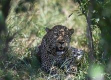 Leopardo que senta-se abaixo da árvore no Masai Mara Game Reserve, Kenya fotos de stock