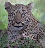 Leopardo que senta-se em uma árvore com em Masai Mara, Kenya, África fotografia de stock