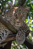 Leopardo que senta-se em uma árvore com em Masai Mara, Kenya, África fotos de stock royalty free