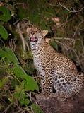 Leopardo que senta-se na árvore Foto de Stock
