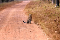 Leopardo que senta-se na estrada imagem de stock royalty free