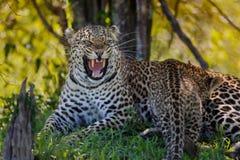 Leopardo que silba Lorian con el cachorro en Masai Mara, Kenia Fotos de archivo