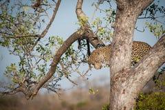 Leopardo que sube abajo un árbol Imagenes de archivo