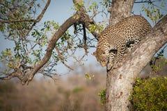 Leopardo que sube abajo un árbol Imagen de archivo libre de regalías