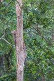 Leopardo que sube un árbol Fotografía de archivo