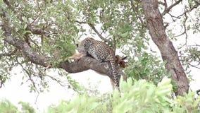 Leopardo que tem o almoço em um ramo de árvore com rapina da impala vídeos de arquivo