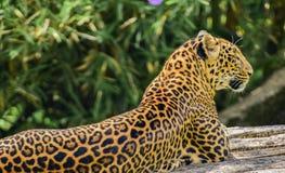 Leopardo que toma sol no sol imagens de stock royalty free