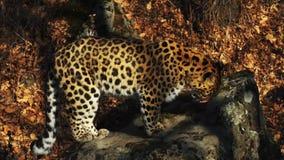 Leopardo raro grazioso dell'Amur in autunno Primorsky Safari Park, Russia video d archivio
