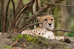 Leopardo relajante debajo de un árbol Fotos de archivo