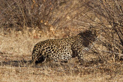Leopardo, reserva do jogo de Madikwe Foto de Stock