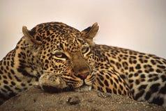 Leopardo rilassato Fotografia Stock