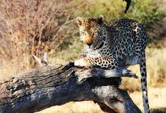 Leopardo salvaje Fotos de archivo