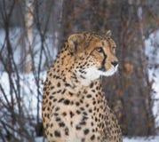 leopardo salvaje de la tolerancia Imagen de archivo libre de regalías