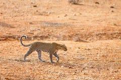 Leopardo salvaje en África imagenes de archivo
