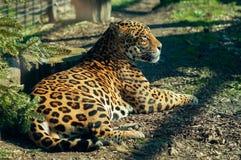 Leopardo selvagem do gato imagens de stock