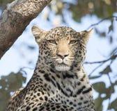 Leopardo selvagem & x28; Pardus& x29 do Panthera; Descanso em uma árvore em África do Sul foto de stock
