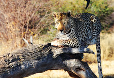 Leopardo selvaggio Fotografie Stock