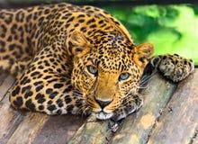 Leopardo selvaggio Immagini Stock Libere da Diritti
