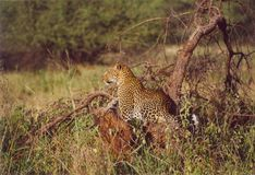 Leopardo in Serengeti Fotografia Stock Libera da Diritti