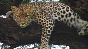 Leopardo Serengeti Tanzania almacen de video