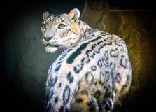 Leopardo sfacciato Fotografia Stock Libera da Diritti