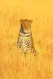 Leopardo, shortidgei del pardus del Panthera, retrato ocultado en la hierba amarilla agradable Gato salvaje grande en el hábitat  imagen de archivo