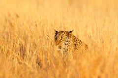 Leopardo, shortidgei do pardus do Panthera, retrato principal escondido na grama alaranjada agradável, Foto de Stock