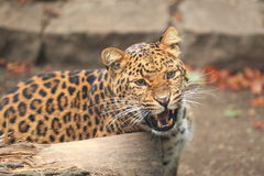 Leopardo Shouting da porcelana norte Fotografia de Stock
