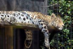 Leopardo soñoliento foto de archivo libre de regalías
