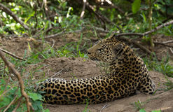 Leopardo sob a tampa Imagem de Stock Royalty Free