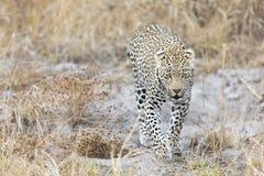 Leopardo solitário que anda e que caça durante o dia imagem de stock royalty free