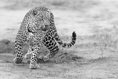 Leopardo solitário que anda e que caça na conversão artística da natureza fotos de stock royalty free