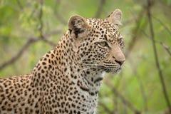 Leopardo solitario Fotografía de archivo