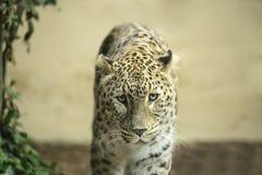 Leopardo solo Immagini Stock