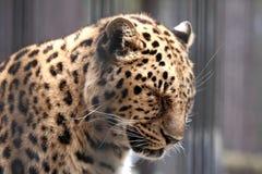 Leopardo sonnolento Fotografie Stock Libere da Diritti